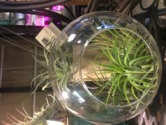 Assorted Airplants