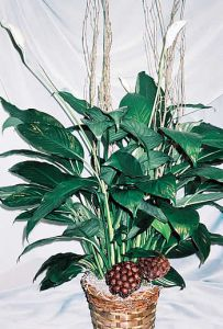 Peace Lily (Spathiphyllum) Sympathy